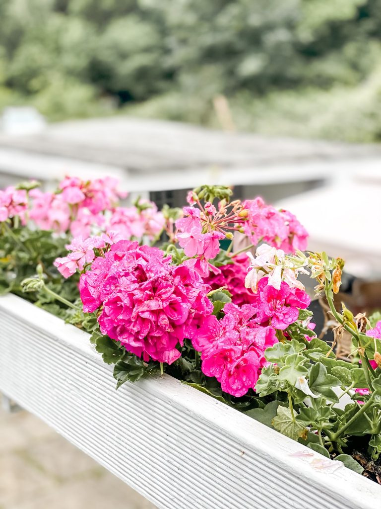 Geranien auf der Terrasse Blumen für den Garten