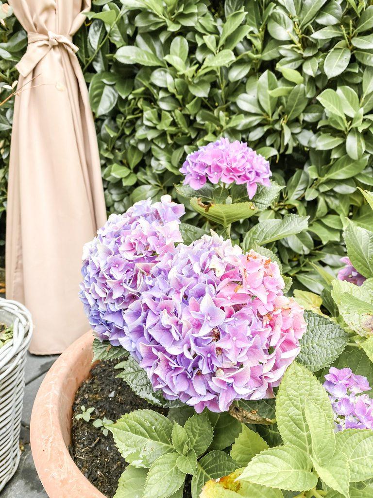 Hortensien - Blumen für den Garten